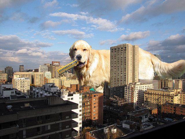 Worlds Biggest Golden Retriever Dogs World S Biggest World