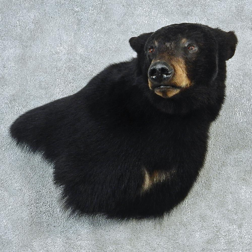 cca55ef0c6 bear+shoulder+mounts | Black Bear Shoulder Taxidermy Head Mount #12765 For  Sale @ The .
