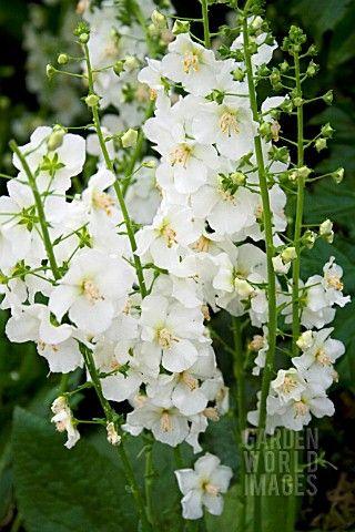 Verbascum phoeniceum hush of white white flowers pinterest verbascum phoeniceum hush of white mightylinksfo