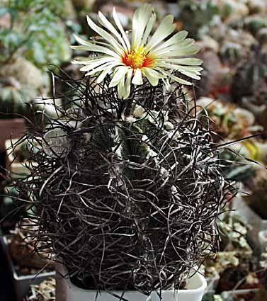 Astrophytum Capricorne F. Paras.jpg 377×425 pixels