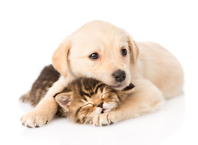 Golden Retriever Puppy Dog Hugging Sleeping British Cat Isolated