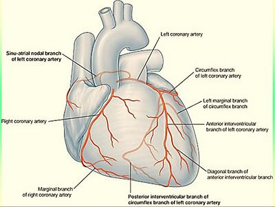 Blood supply of the heart medical ebook pdf download 200 free blood supply of the heart medical ebook pdf download fandeluxe Choice Image