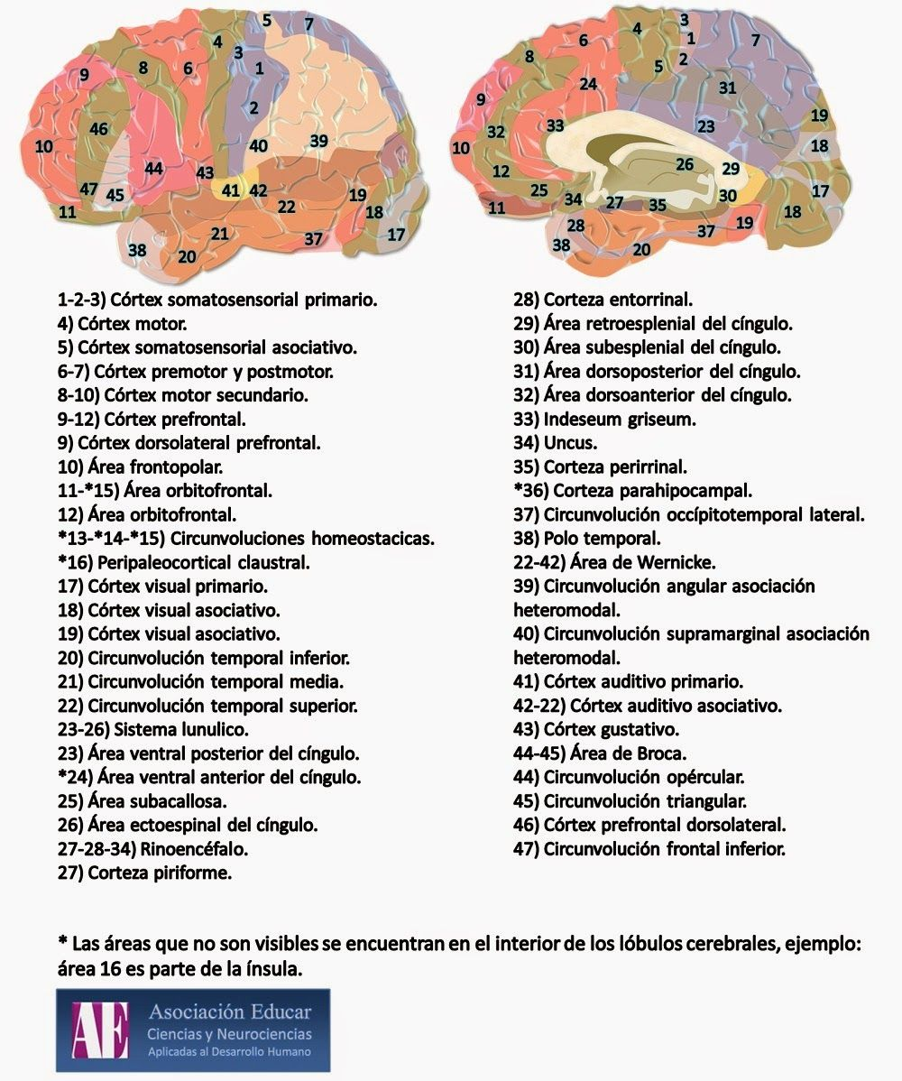 NEUROANATOMIA: ESTRUCTURAS CORTICALES Y SUBCORTICALES | Maestria ...