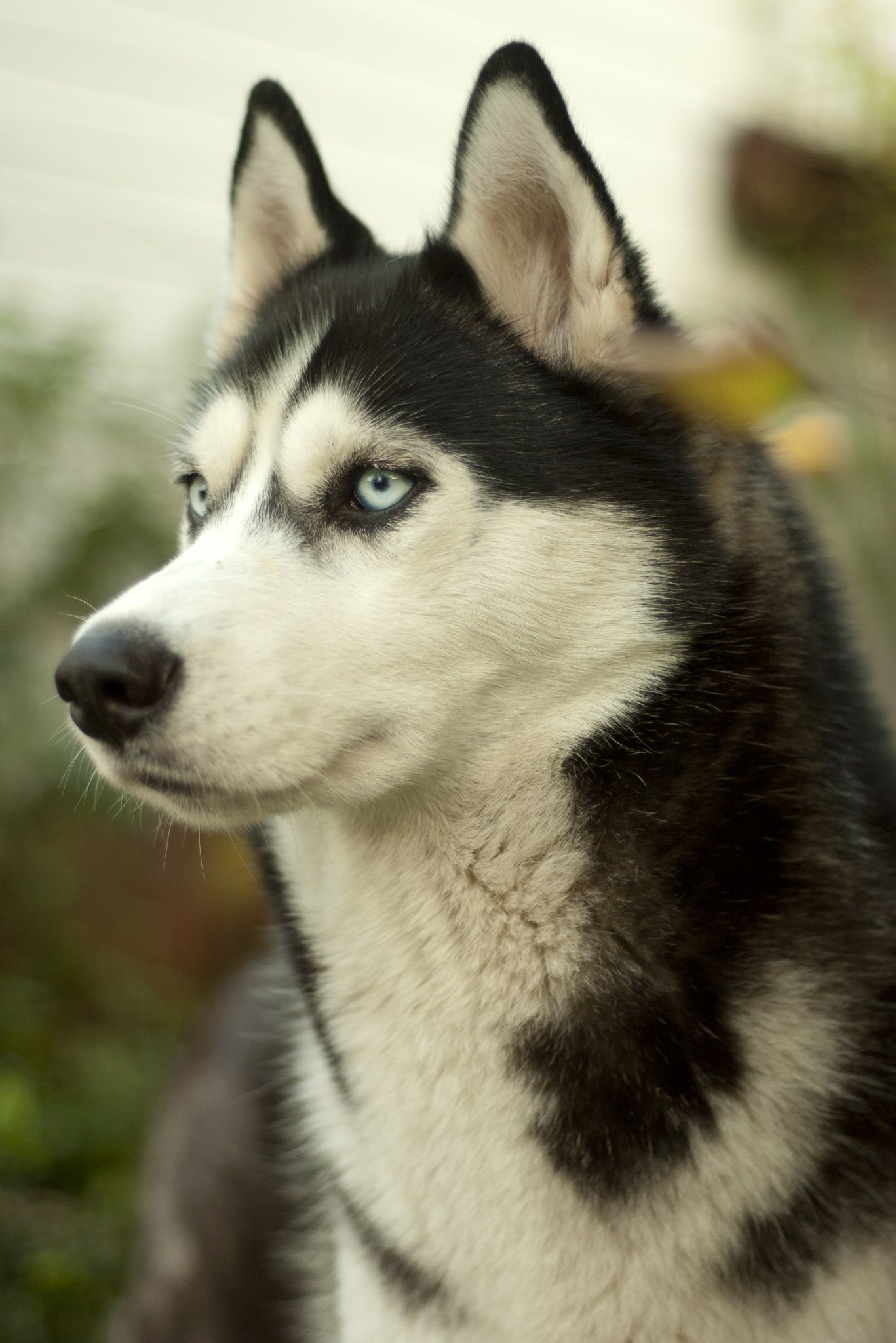 Pin by vincent porrazzo on Siberian Huskies Husky dogs