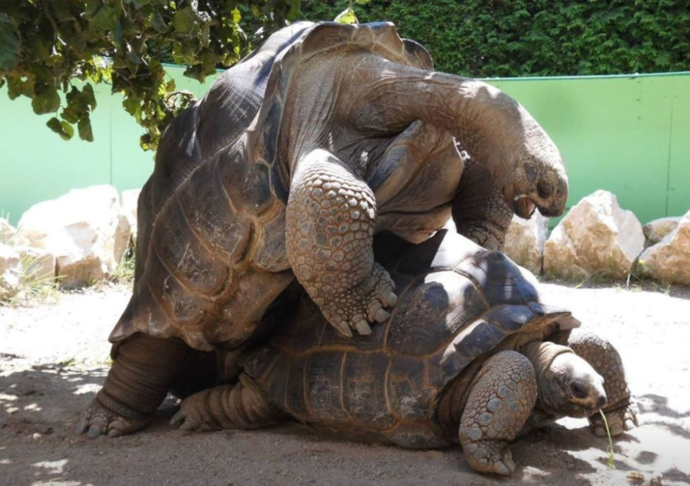 Die Größte Schildkröte Der Welt