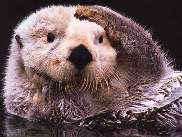 How thick, you ask? As much as 1,000,000 hairs per square inch! | 14 Surprising Facts About Sea Otters
