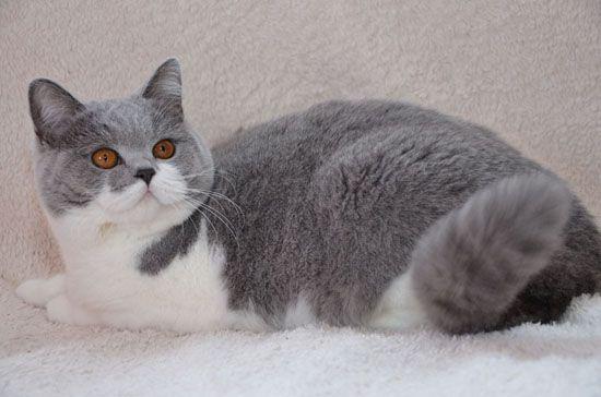 Golancat British Shorthair Cats British Shorthair Cats Cute Cats