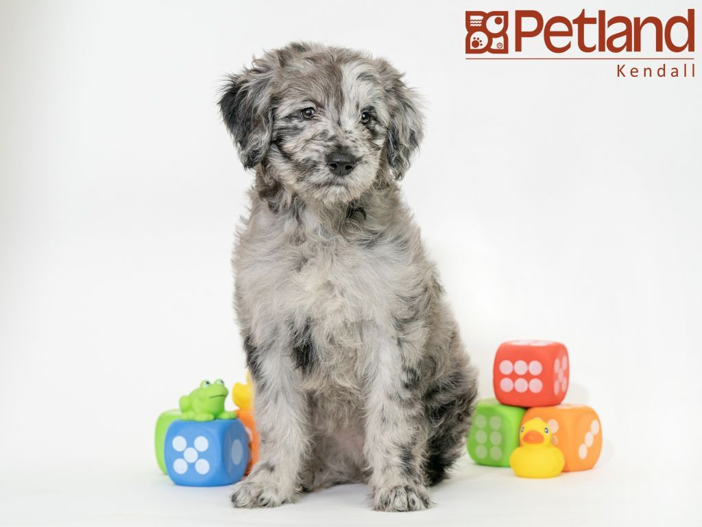 Petland Florida Has Aussiedoodle Puppies For Sale Check Out All