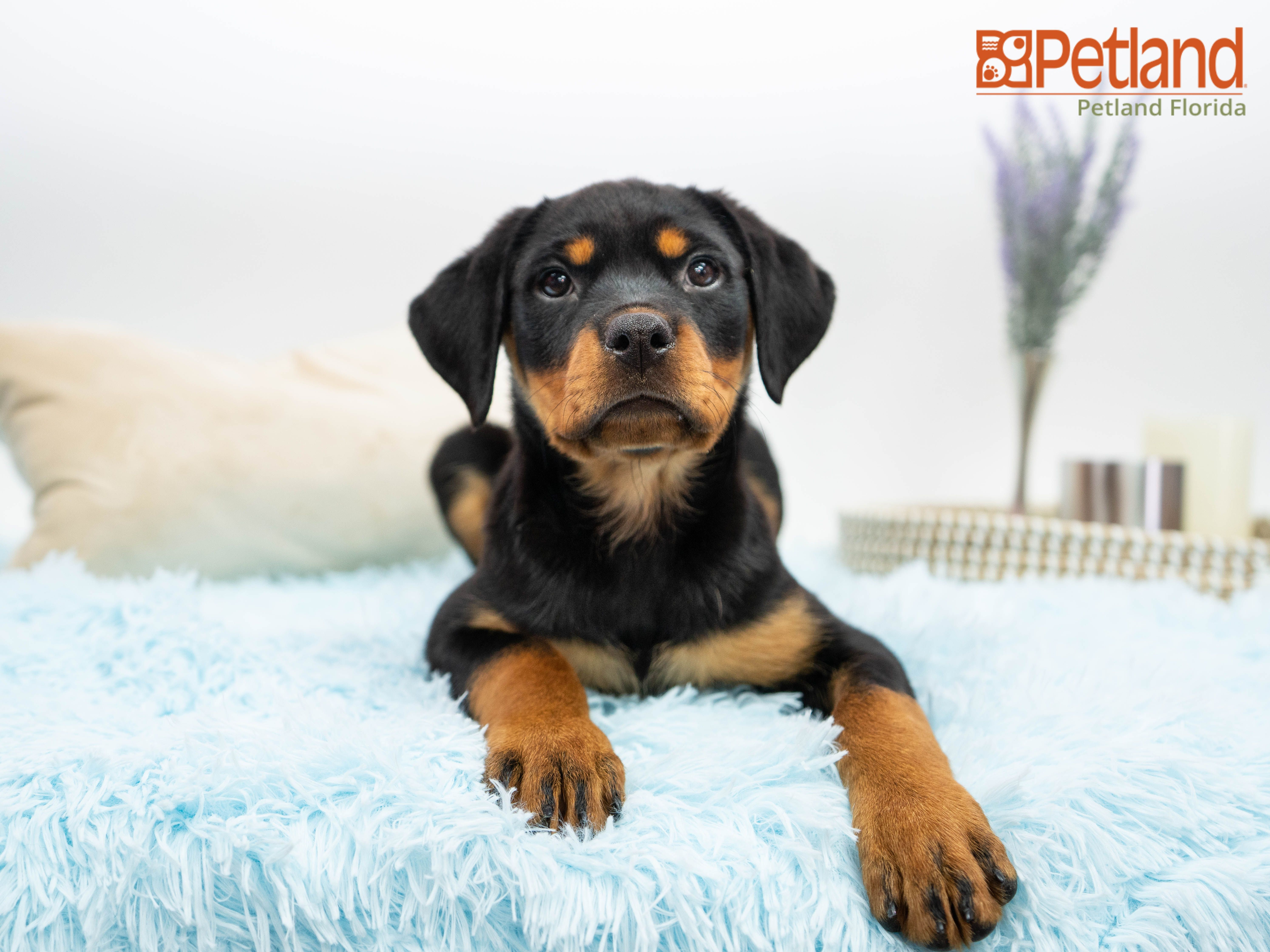 Petland Florida Has Rottweiler Puppies For Sale Check Out All Our Available Puppies Rottweiler Puppy D Dogs And Puppies Puppy Friends Rottweiler Puppies