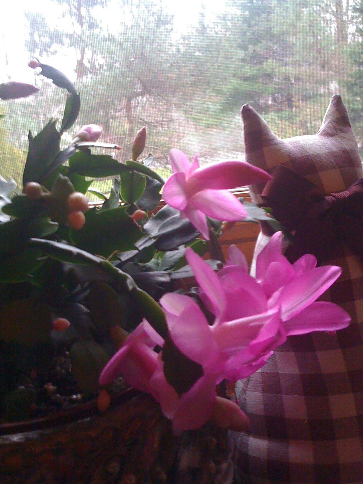 discover ideas about window ledge decor window ledge decor christmas cactus calico cat