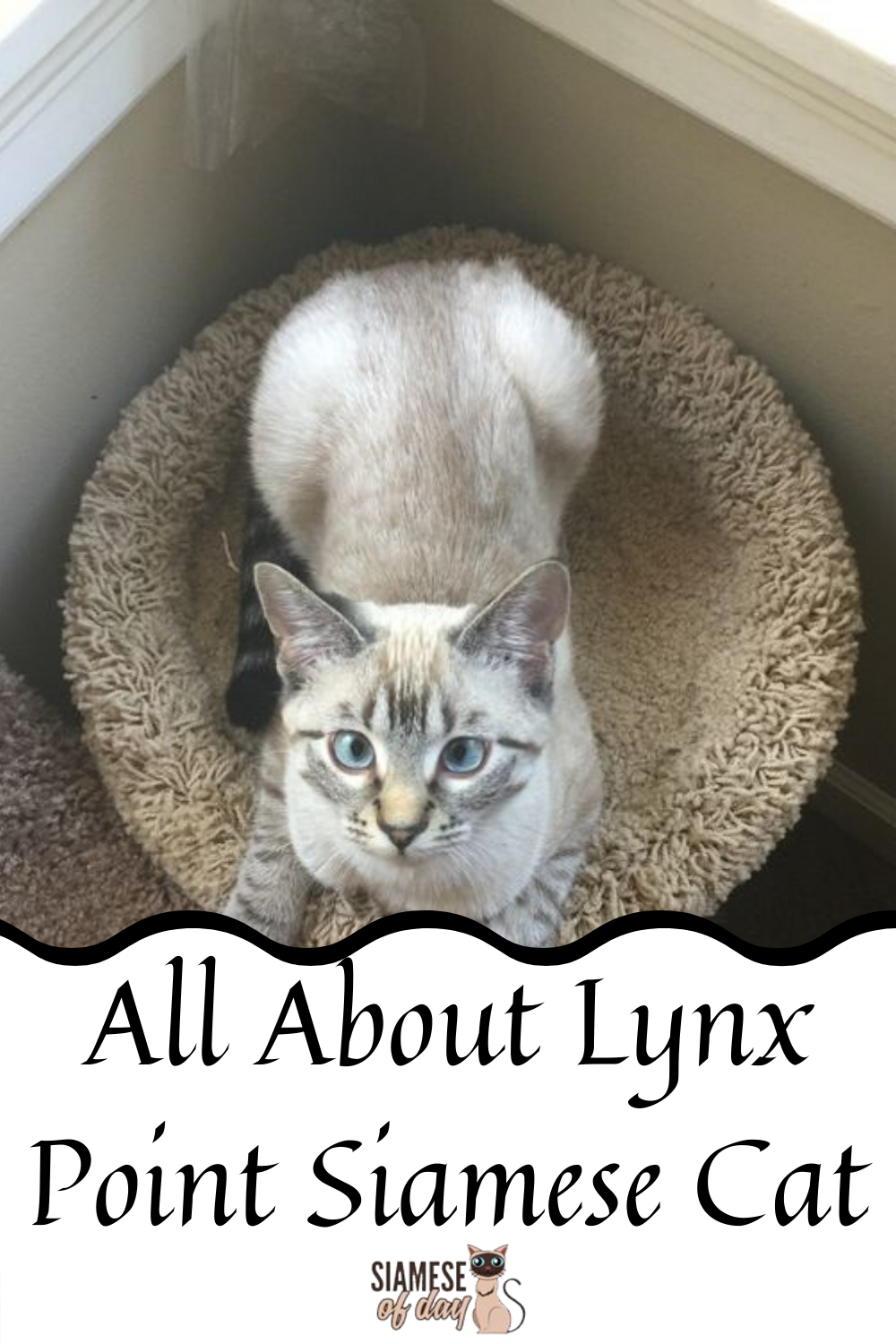 All About The Lynx Point Siamese Cats Siamese Of Day In 2020 Siamese Cats Siamese Kittens Cats