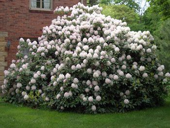 Pruning A Large Rhododendron Is Best Done In March The Severe