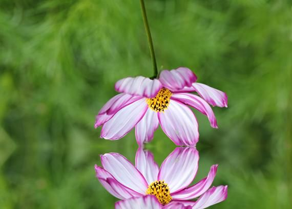 Cosmos reflection, Flower Macro Photography, Digital Download, Nature Lover, Screensaver, Printable