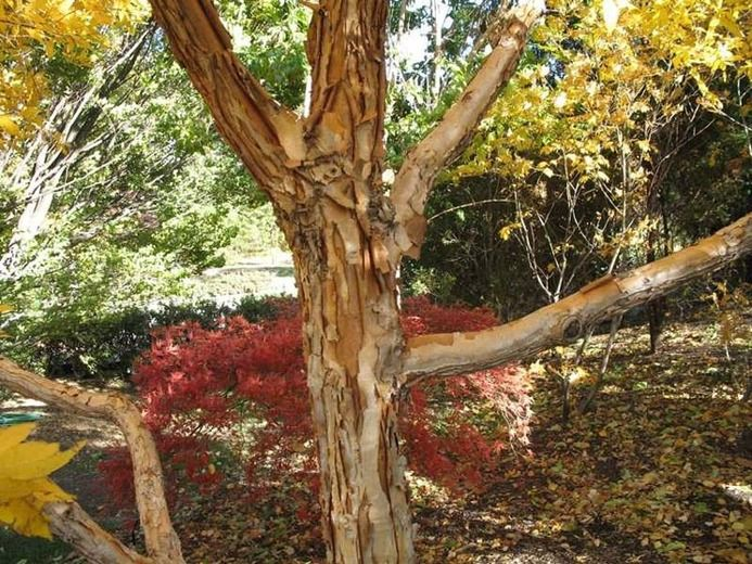 Acer Triflorum Three Flowered Maple Tree With Fall Color Fall Color Attractive Bark Tree Peeling Bark Deciduous Trees Trees To Plant Flowering Cherry Tree