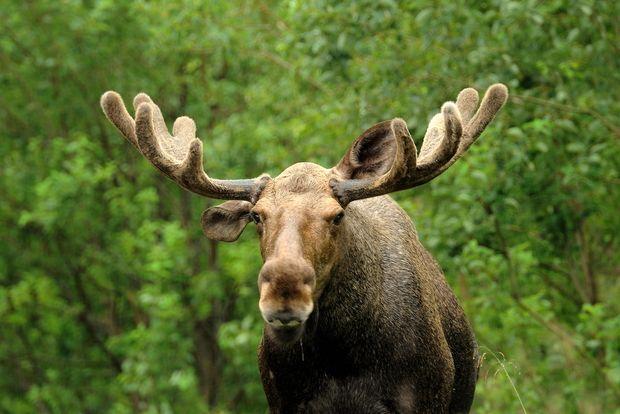 7 Animals Native to Canada That Aren't Polar Bears - Goodnet