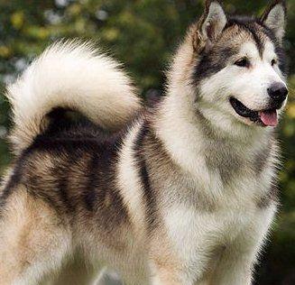 Grey Alaskan Siberian Husky Dogs Dog Breeds Malamute Dog