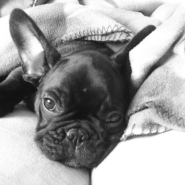 Tumblr Cute Animals French Bulldog Puppies