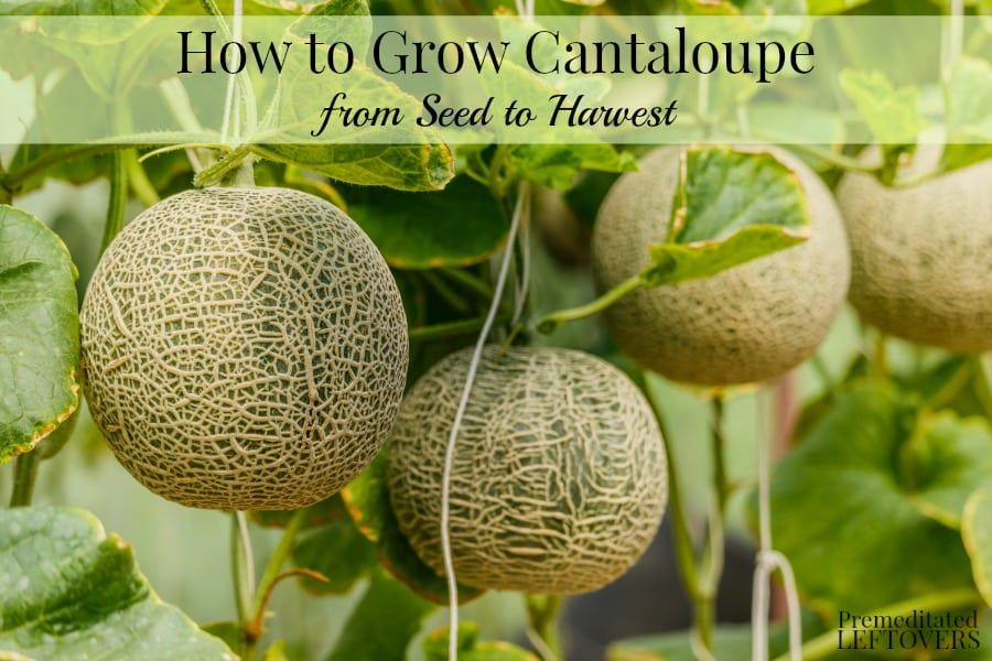 How To Grow Cantaloupe From Seed To Harvest Growing Cantaloupe