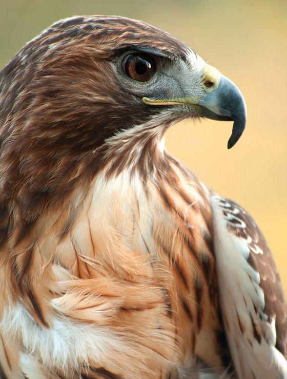 Louisiana Birds Of Prey Identification Largest Bird Of Prey Birds Of Prey Prey