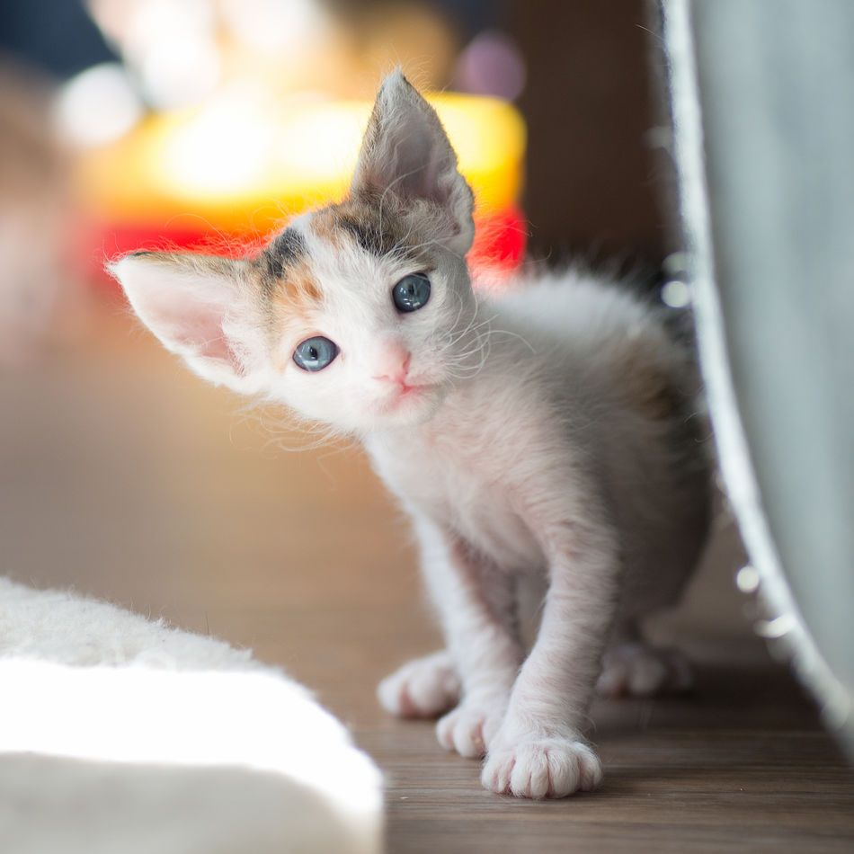 4 Weeks Old Laperm Kitten Laperm Rex Cat Curly Cat