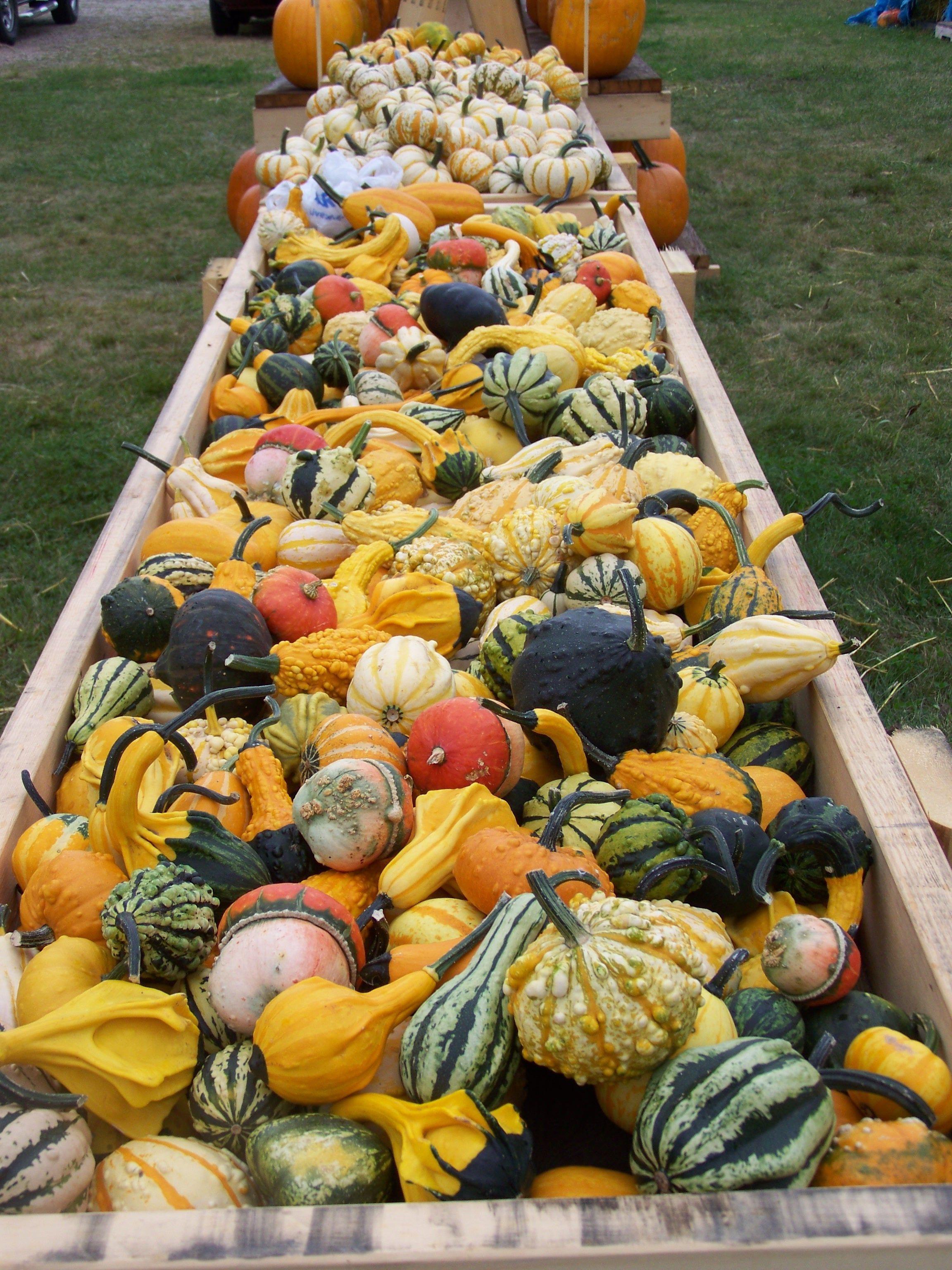 hawk valley garden gourds and more gourds harvest thyme rh pinterest com