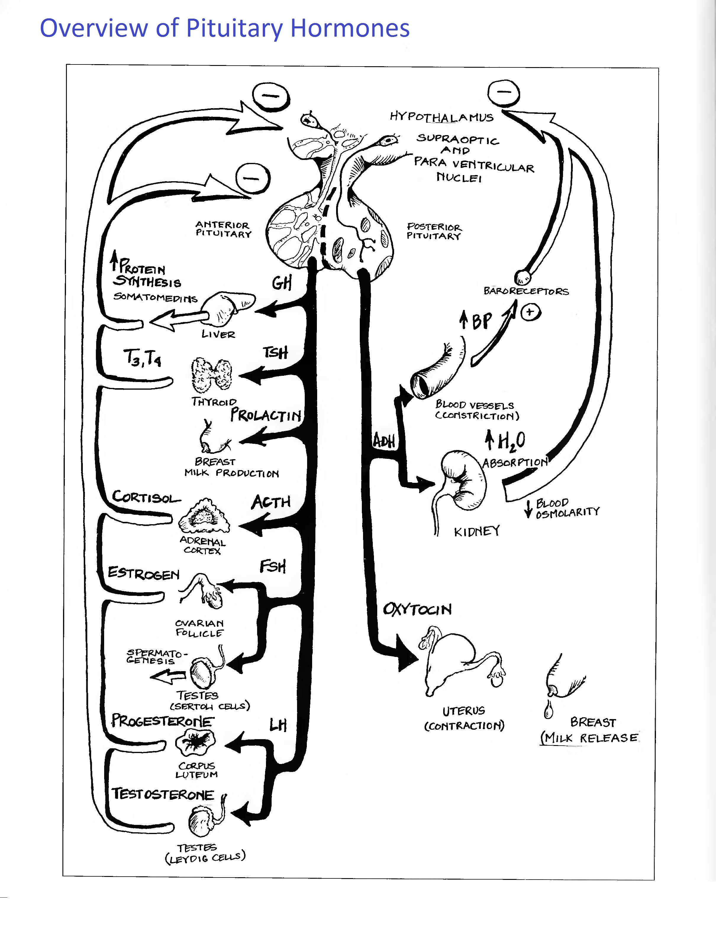pin by samantha seager on anatomy physiology pinterest Human Female Reproductive System Diagram piturary hormones 2 420 3 132 pixels endocrine system study notes health