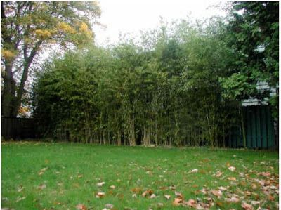 Non-Invasive Bamboo Living Fence | Bamboo Hedges, Fences and