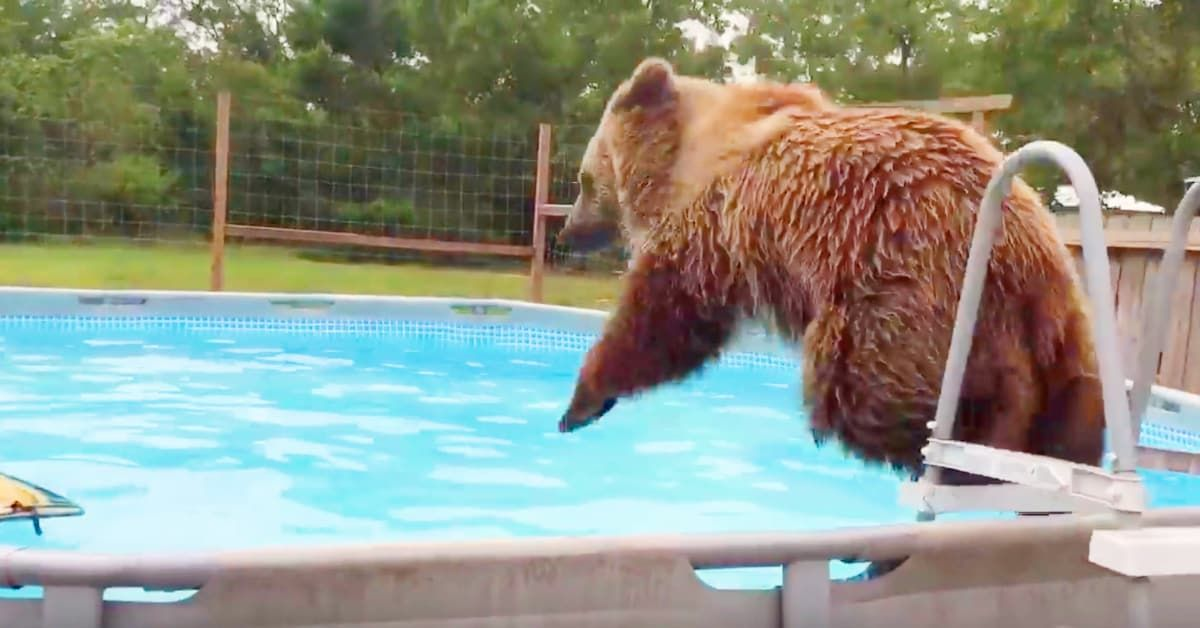 Man Catches Bear Jumping In His Pool But When The Bear Spots Him
