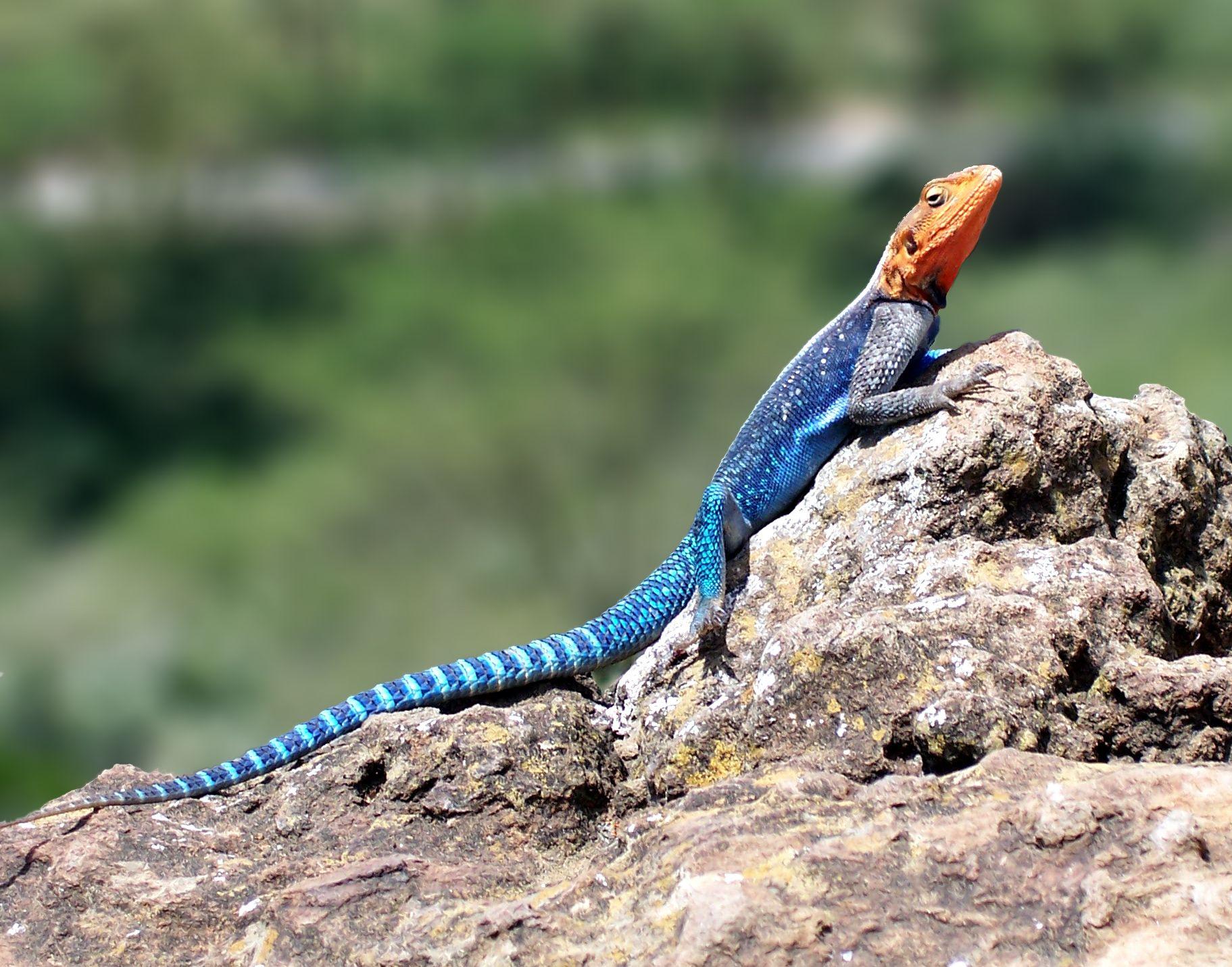 Animals rocks reptiles colors redheaded rock agama x art