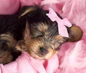 5 Week Old Newborn Yorkshire Terrier Puppy Yorkshire Terrier Yorkie Yorkie Yorkshire Terrier