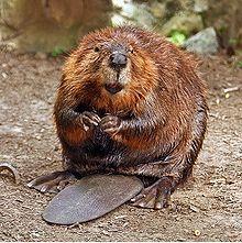 Canadian Beaver. National Symbol