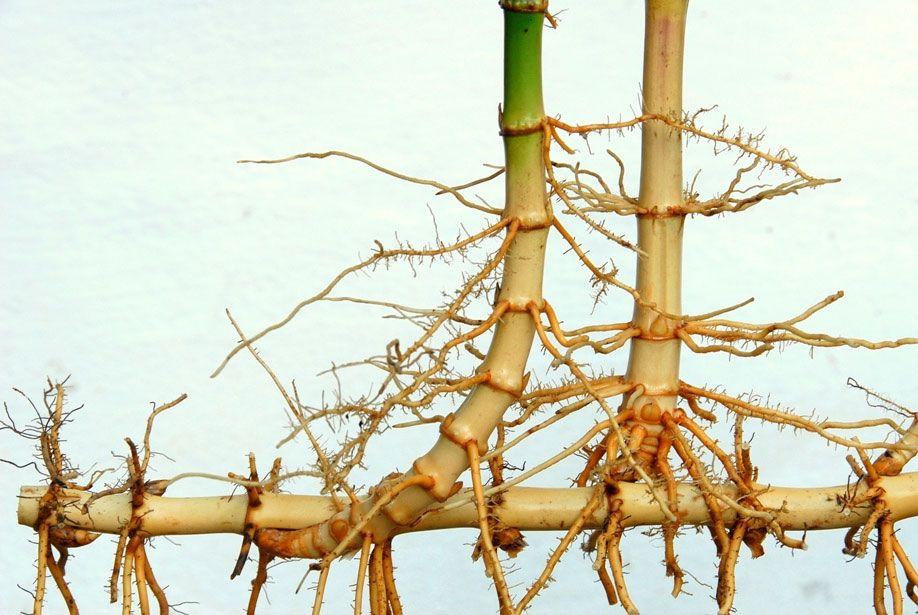 running bamboo rhizome soil removed