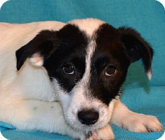 Mukwonago, WI - Australian Cattle Dog/Wirehaired Fox Terrier Mix. Meet **PABLO** MEET DEC 19TH!, a puppy for adoption. http://www.adoptapet.com/pet/14506150-mukwonago-wisconsin-australian-cattle-dog-mix