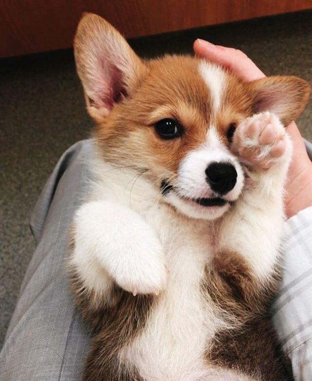 Lulus Corgi Puppy Dog Cute Cozychloe With Images Puppies