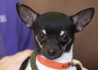 Chihuahua Mix Dog For Adoption In Colorado Springs Colorado Bond Kitten Adoption Cat Adoption Pets