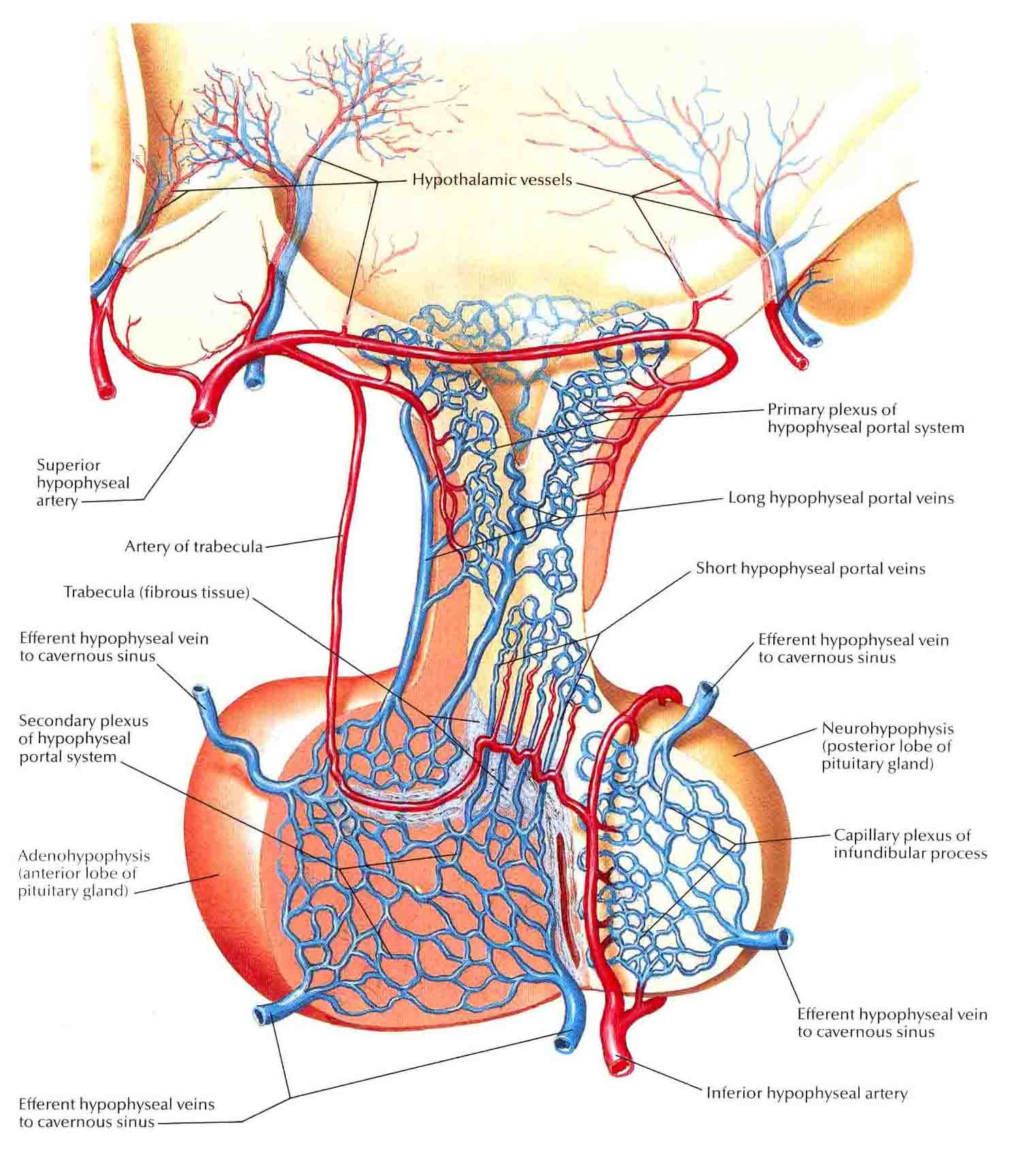 arteries-and-veinds-of-hypothalamus-and-hypophysis.jpg (1484×1728 ...