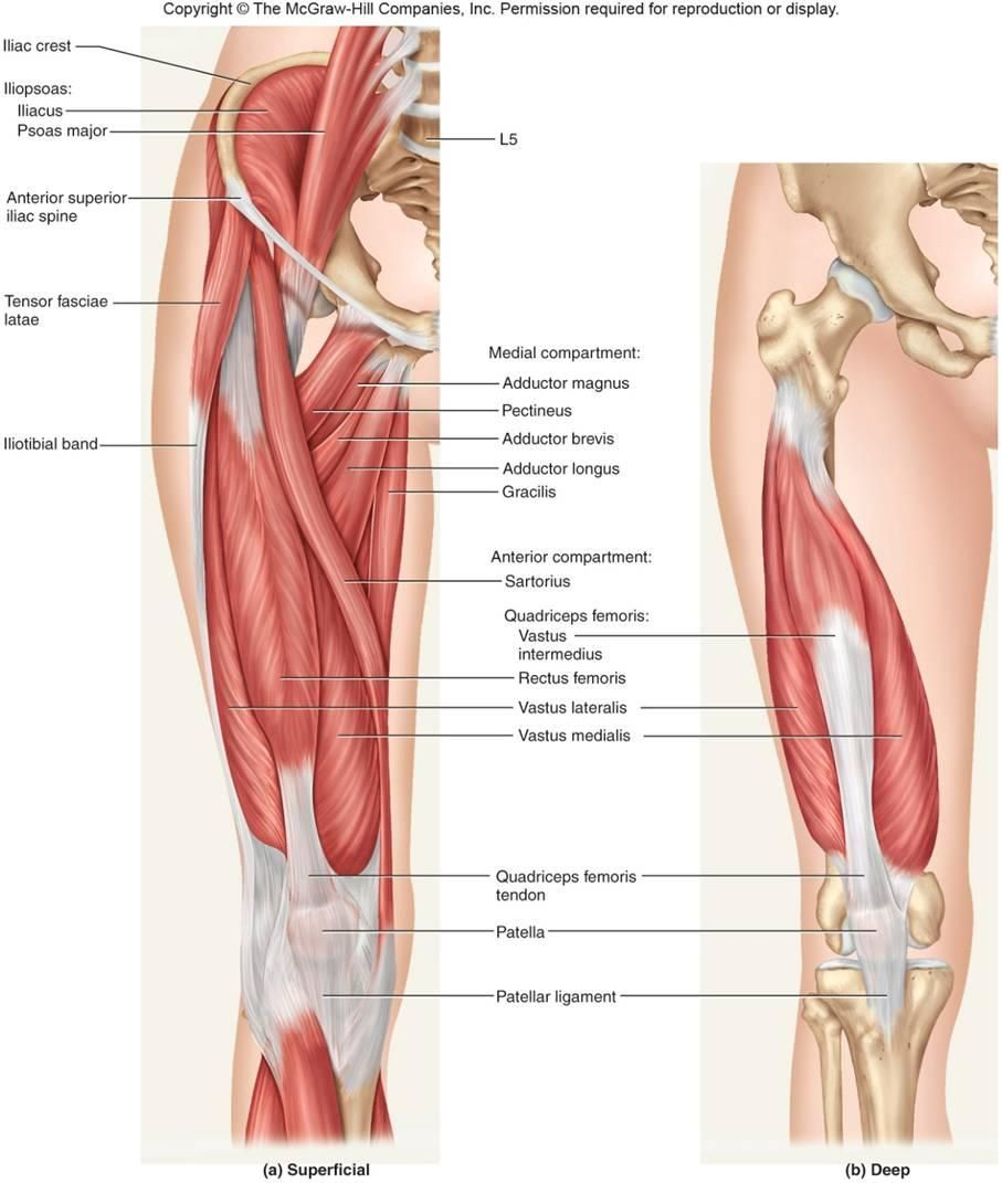 Deep Leg Muscle Diagram Diy Enthusiasts Wiring Diagrams
