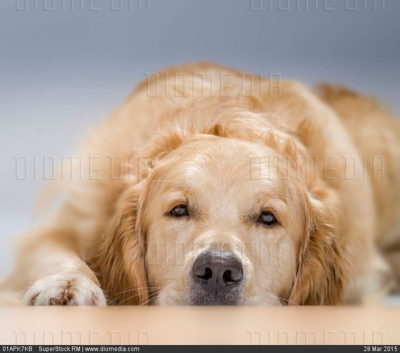 Young Golden Retriever Lying Down Stock Photo