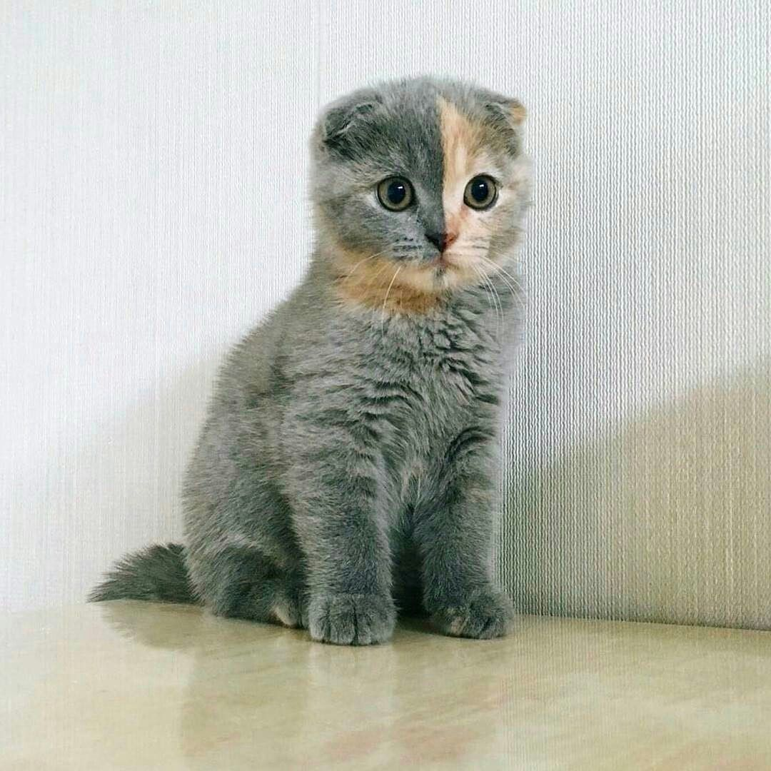 Unusual Scottish Fold Scottish Fold Kittens Cat Scottish Fold