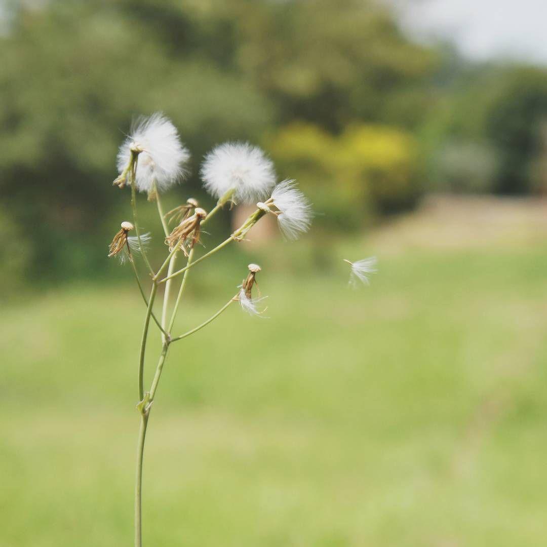 Dente de Leão  #fotografia #natureza #flor