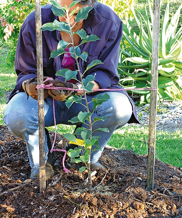Plant An Apple Tree Step 2; Shape The Soil To Form A Dam