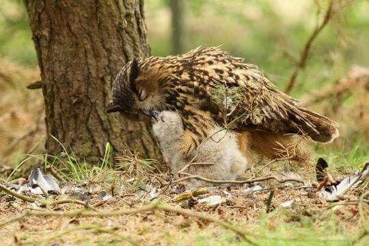 Eurasian Eagle Owl Christiano De Cristo Owl lovers FB page.