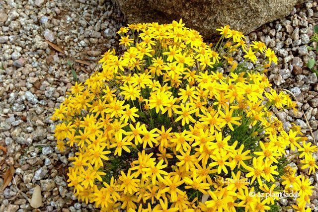 Ramblings From A Desert Garden 10 Southwest Native Ground Covers Southwest Landscaping Ground Cover Desert Garden