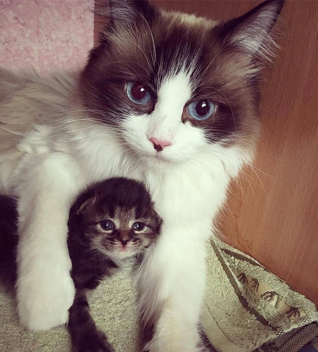 Adorable Ragdoll Kittens For Sale Portsmouth Cute Animals To Draw Dog Cute Cats Cute Cat Gif Beautiful Cats