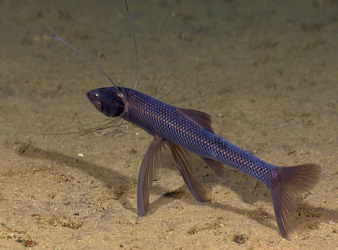 Meet The Deep Sea Dwelling Tripod Fish It Spends Most Of Its Time In