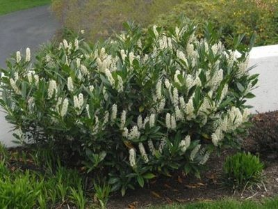 Evergreen Shrubs Richmond Va Cross Creek Nursery Landscaping