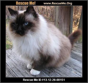 Ragdoll Rescue North Carolina Pet Adoption Post Animal Animal Rescue