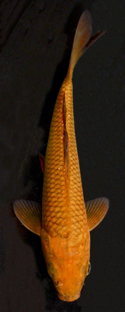 Chagoi Are Solid Colored Brown Or Bronze Koi With A Subtle Reticulated Net Pattern Although They Are Not Nearly As Flashy Or Colorful As Koi Fish Pond Animals