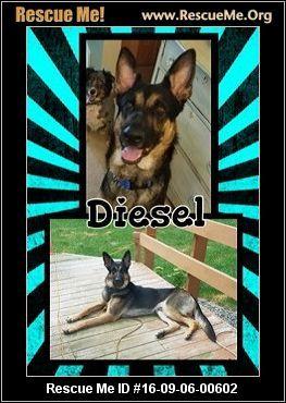 Wisconsin German Shepherd Rescue Adoptions Diesel Male German
