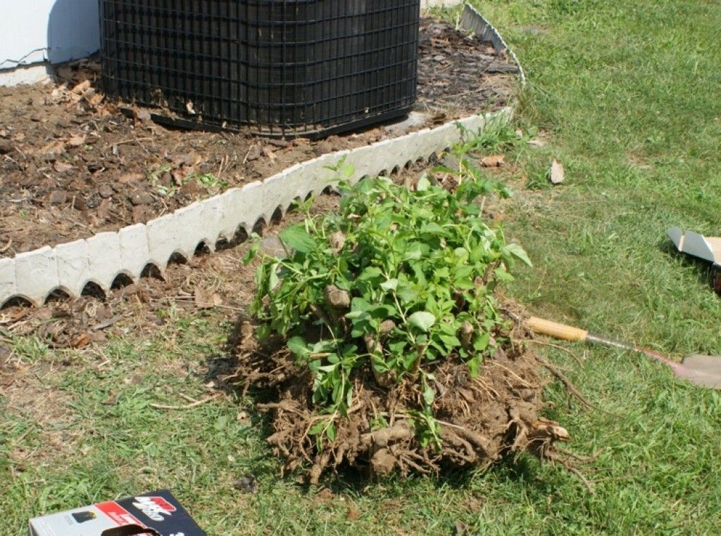 How To Remove A Shrub Or Bush From Your Yard Garden Shrubs Shrub Removal Lawn And Landscape